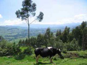 Dutch cow in Ecuador
